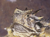 Texas Horned Lizard Head  Phrynosoma Cornutum  North America