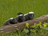 Striped Skunk Babies  Mephitis Mephitis  North America