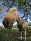 Fisheye View of Horse Looking over Fence  Cades Cove  Great Smoky Mountains NP TN