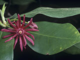 Star Anise (Illicium Floridanum)  Southern USA