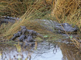 Female Alligator with Young