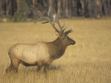 Bull Elk  Cervus Elaphus  Yellowstone National Park  Wyoming  USA