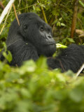 Mountain Gorilla  Gorilla Gorilla Beringei  Eating in Volcanoes National Park  Rwanda  Africa