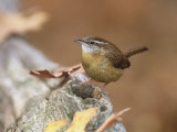 Carolina Wren (Thryothorus Ludovicianus)  Eastern North America