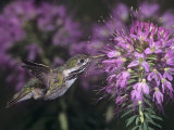 Calliope Hummingbird Nectaring at Flowers  Stellula Calliope  New Mexico  USA