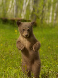 Black Bear  Ursus Americanus  Female Cub Standing Upright  North America