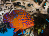 Coral Grouper (Cephalopholis Miniata)  Bali  Indonesia