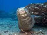 Hawaiian Monk Seal (Monachus Schauinslandi)  an Endemic and Endangered Species  Hawaii  USA