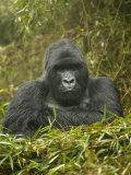 Mountain Gorilla, Gorilla Gorilla Beringei, Volcanoes National Park, Rwanda, Africa Papier Photo par Joe McDonald