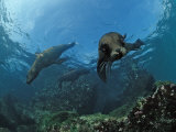 South African Fur Seals Swimming (Arctocephalus Pusillus Pusillus)  South Africa