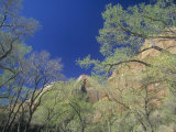 Cottonwood Trees  Populus  in the Spring  Zion National Park  Utah  USA