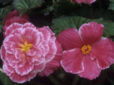 Male and Female Flowers of the Picotee Lace Pink Variety of Tuberous Begonias
