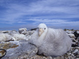 Giant Petrel Chick  Macronectes Giganteus  Falkland Islands