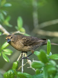 Female Brown-Headed Cowbird (Molothrus Ater)  North America
