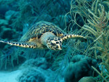 Hawksbill Sea Turtle  Eretmochelys Imbricata  Martinique  French West Indies  Caribbean Sea