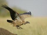 Immature Ruppell's Griffon Vulture Landing  Gyps Rueppellii  Maasai Mara  Kenya  Africa
