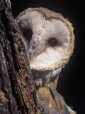 Barn Owl Face Peering from Behind a Tree Trunk  Tyto Alba  a Threatened Species  North America