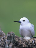 White Tern on its Nest with an Egg  Gygis Alba  Midway Atoll National Wildlife Refuge  USA