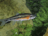 Rosyside Dace (Clinostomus Funduloides)  Virginia  USA