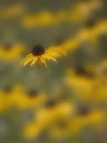 A Blackeyed Susan (Rudbeckia Hirta)