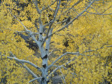 Quaking Aspens in the Fall  Populus Tremuloides  North America