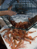 Spot Prawns (Pandalus Platyceros) in a Fishing Trap  Alaska  Usa  Pacific Ocean
