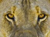Male African Lion Eyes  Panthera Leo  Etosha Pan National Park  Namibia  Africa
