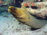 A Caribbean Green Moray Eel Emerges from under a Ledge