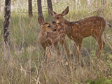 Mule Deer Fawns (Odocoileus Hemionus) in a Mountain Meadow  Pike National Forest  Colorado  USA