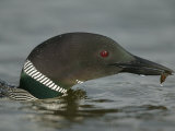 Common Loon Eating (Gavia Immer) North America