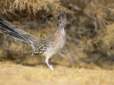 Greater Roadrunner (Geococcyx Californianus)  New Mexico  USA