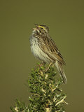Savannah Sparrow Singing  Passerculus Sandwichensis  Western USA
