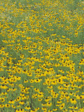 Field of Black-Eyed Susans  Rudbeckia Hirta  USA