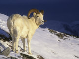 Dall Sheep Ram (Ovis Dalli) in the Alpine Environment of Denali National Park  Alaska  USA