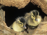 Two Wood Duck Young in their Nest Hole (Aix Sponsa)  North America