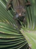 O'shaughnessy's Chameleon  Calumma Oshaughnessyi  Madagascar