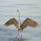 Great Blue Heron Wading in Water with its Wings Spread  Ardea Herodias  Sanibel  Florida  USA