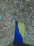 Male Peacock Courtship Display (Pavo Cristatus)