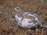 White-Tailed Ptarmigan  Lagopus Leucurus  in its Plumage Between Summer and Winter  North America