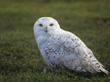 Female Snowy Owl (Nyctea Scandiaca) Standing in Green Spring Grass  Arctic North America