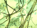 Mixed Species of Cyanobacteria
