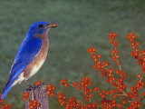 Male Eastern Bluebird  Sialia Sialis  Eating a Red Berry  North America