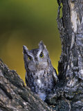 Western Screech Owl in a Coniferous Forest  Otus Kennicotti  Western North America