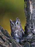 Western Screech Owl in a Coniferous Forest  Otus Kennicotti  Western North America