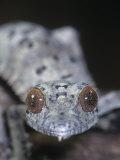 Leaf-Tailed Gecko  Uroplatus Henkeli  Madagascar