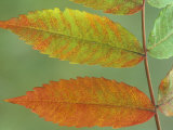 Sumac Leaves in Autumn  Rhus  Michigan  USA