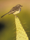 Northern Mockingbird on a Cactus  Mimus Polyglottos  North America