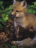 Red Fox Pup (Vulpes Vulpes) Next to Gray Squirrel Prey (Sciurus Carolinensis)  North America