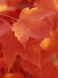 Red Maple Leaves in the Fall (Acer Rubrum)
