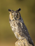 Female Long-Eared Owl  Asio Otus  USA